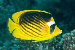 BD-121128-Aqaba-7592-Chaetodon-fasciatus.-Forsskål.-1775-[Diagonal-butterflyfish].jpg